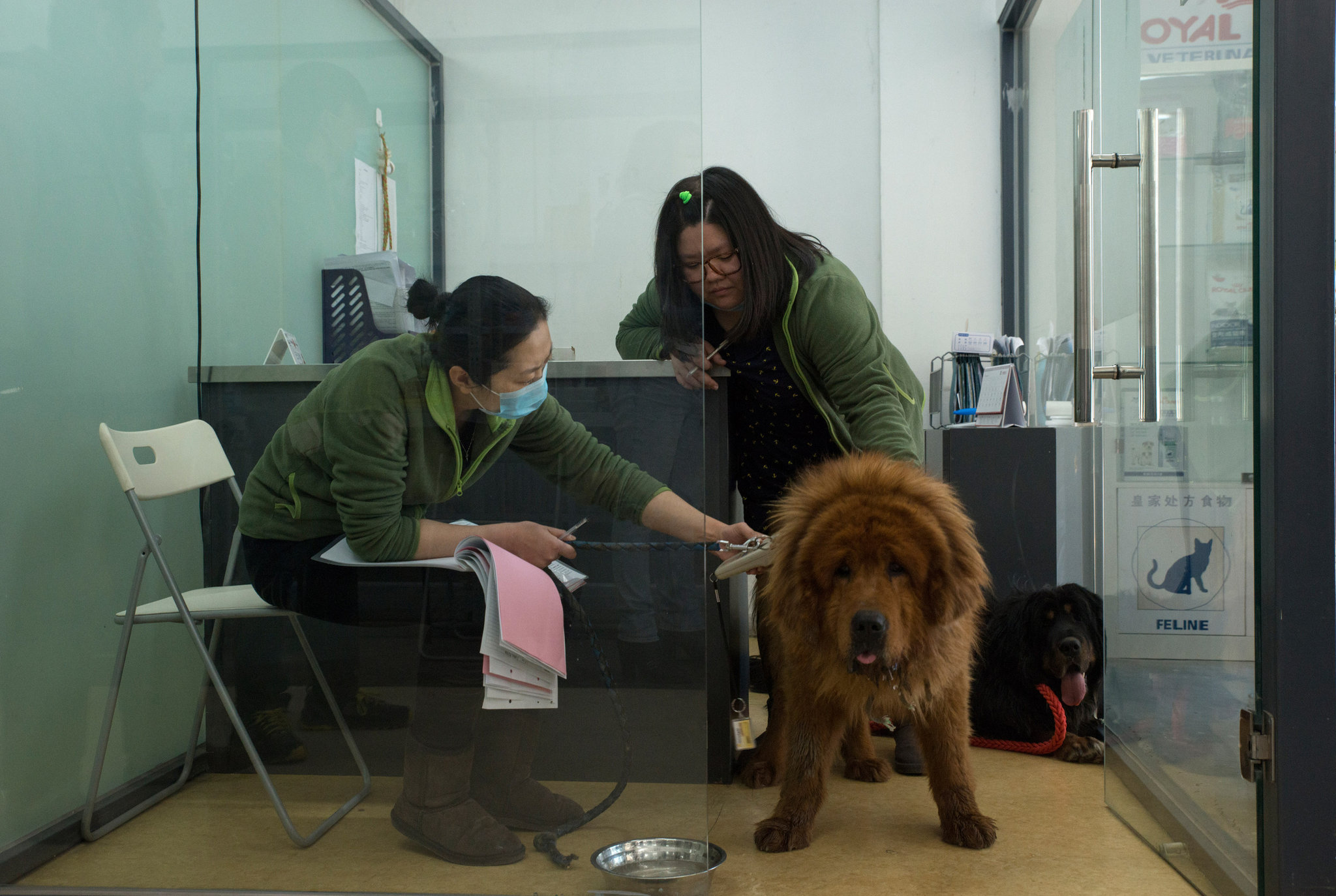 End Of China's Tibetan Mastiff Craze Sends Dogs To Slaughter - photo#31