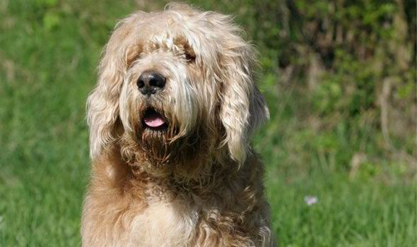 The Otterhound. This is Britain's rarest breed, with only 16 puppies