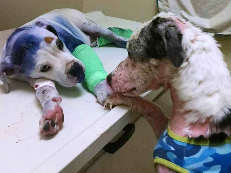 Abused Dogs Comfort One Another While Being Treated In