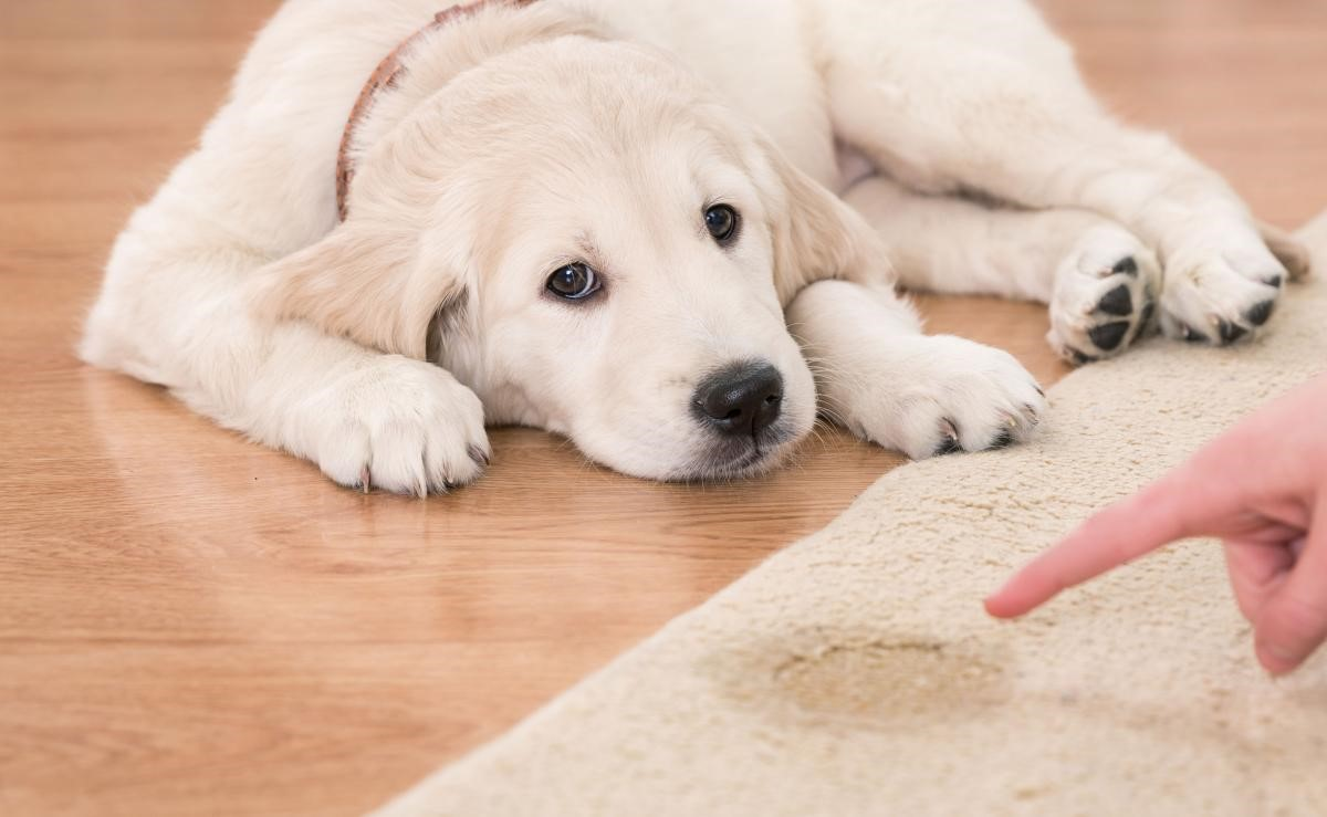 How To Clean Pet Stains From Carpets