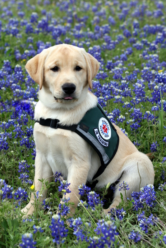 Can You Pet A Diabetic Service Dog