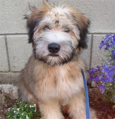Irish Soft Coated Wheaten Terrier Page 1