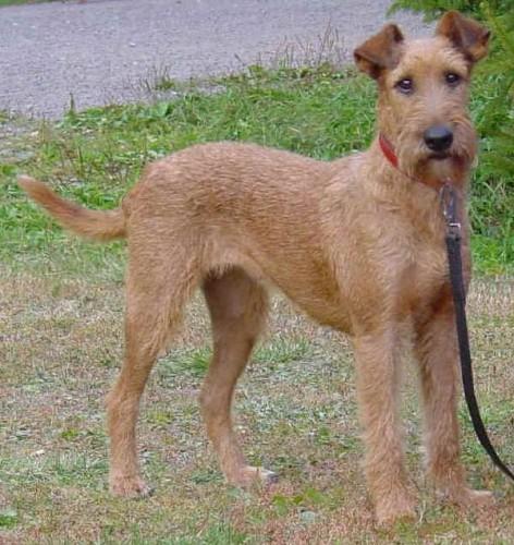 Irish Terrier For Sale Georgia Irish Terrier - Page 1