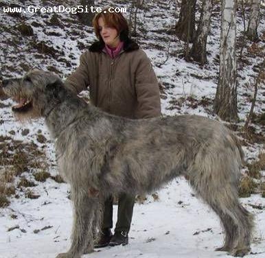 Izzy, the Irish Wolfhound my room mate got today :) : aww