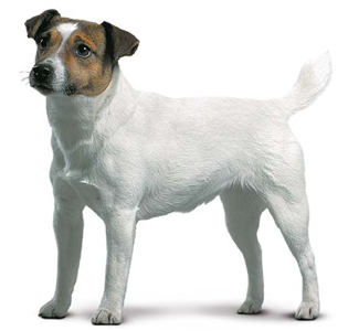 Photo 1 of 40 Jack Russell Terrier