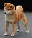 Japanese Shiba Inu