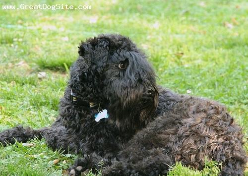 Untold Stories Of The Er Maggots. Kerry Blue Terrier