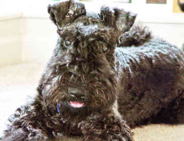 Kerry Blue Terrier Page 1