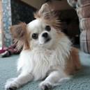 Long Coat Chihuahua