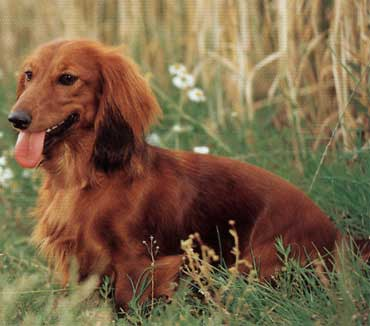 12 of 17 long haired dachshund photo 13 of 17 long haired dachshund ...