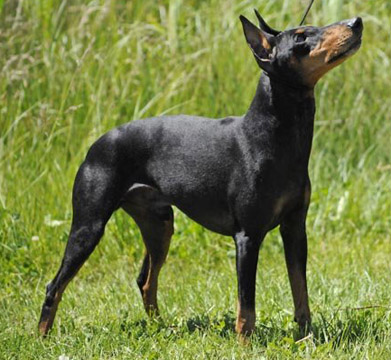 Manchester Terrier Page 1