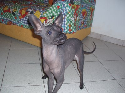 Mexican Hairless Page 1