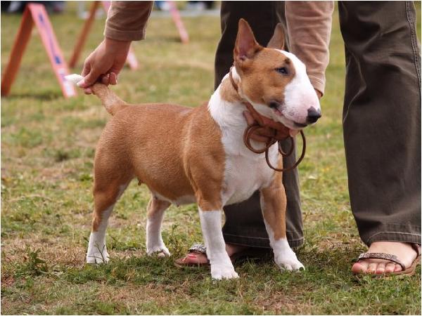 Irish Kennel Club Dogs For Sale