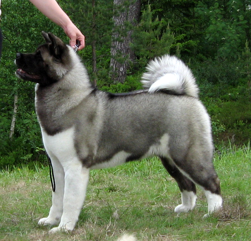 121 best images about Akita on Pinterest | Names, Akita dog and ...