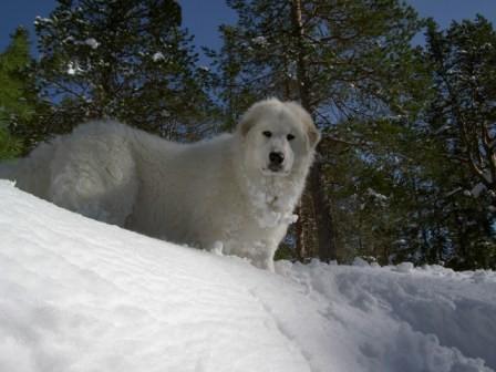 Pyrenean Mountain Dog Page 1