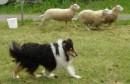 2008 june 14 Sheppegutt Herding c