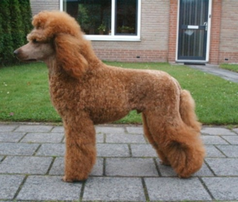 poodle photo 4 of 37 standard poodle photo 5 of 37 standard poodle