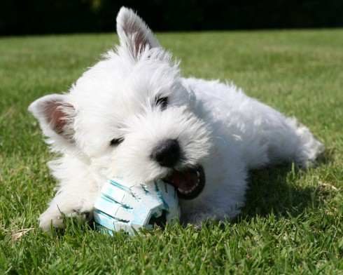West Highland White Terrier - Page 1