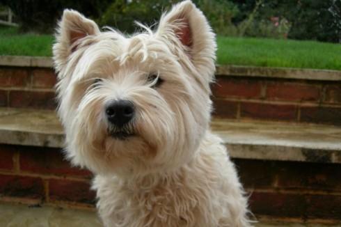 West Highland Terrier Brown West Highland Br...