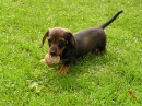 Miniature Smooth Haired Dachshund