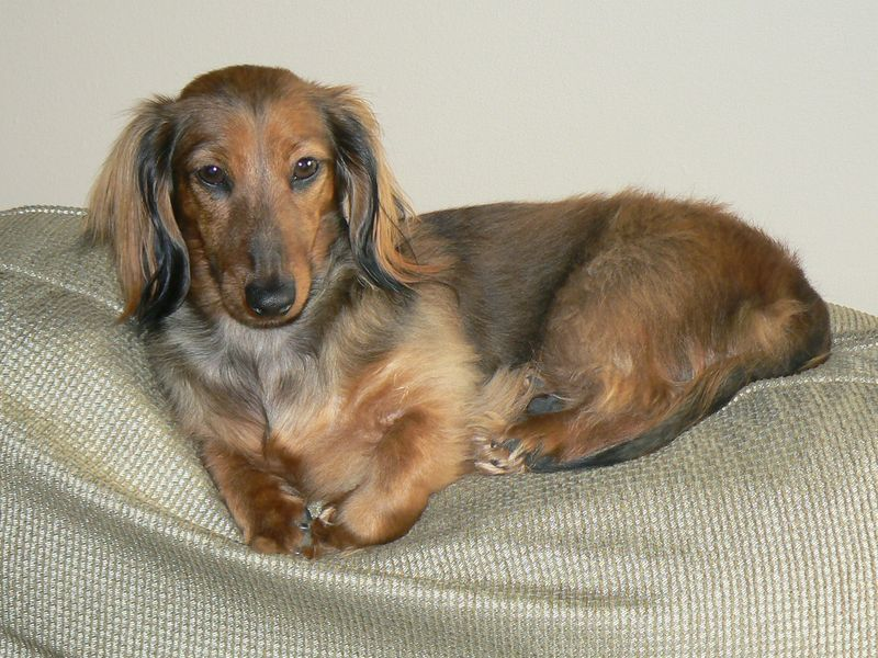 mini long haired dachshund puppies. Miniature Long Haired
