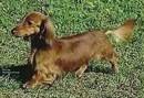 Miniature Long Haired Dachshund