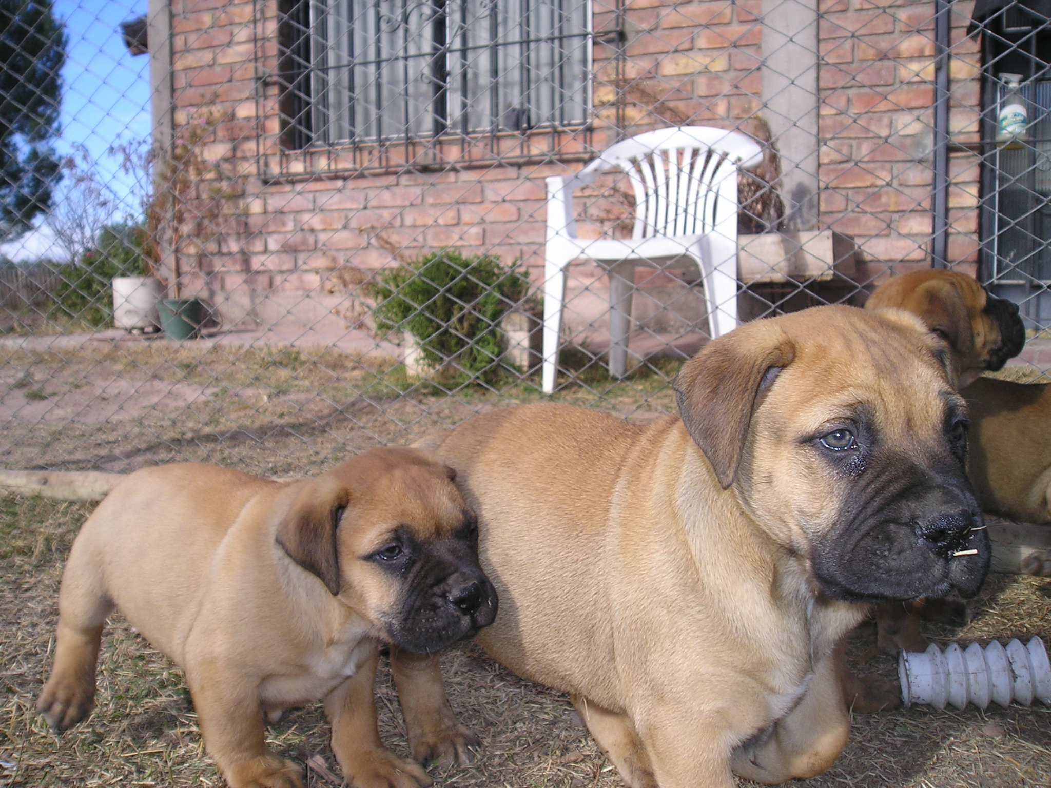 Different Bull Mastiff Breeds Bullmastiff picture gallery.
