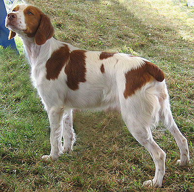 brittany spaniel breeders