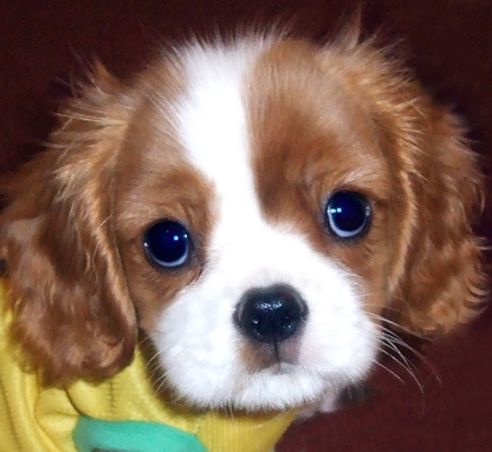 maria shriver children_10. Cavalier King Charles.