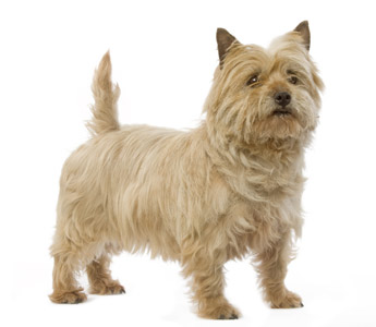 Cairn Terrier - Page 1