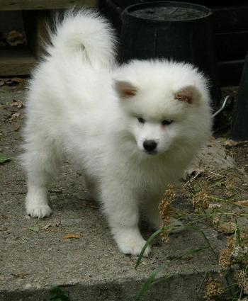 American Eskimo Dog St...