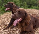 German Longhaired Pointer