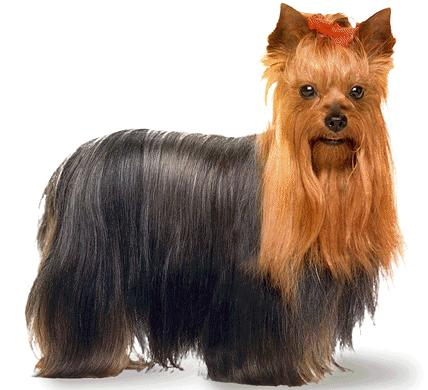 Photo 8 of 29Yorkshire Terrier