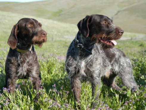 German Wirehaired Pointer Page 1
