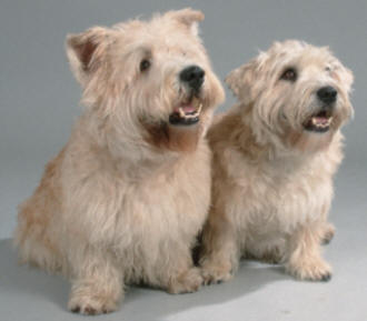 About terriers glen of emaal terrier the breed the glen of imaal terrier is a rough and ready working terrier that is the least known of the four terrier breeds native to ireland altavistaventures