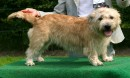 Irish Glen of Imaal Terrier