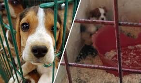 puppy-farm-dogs.jpg