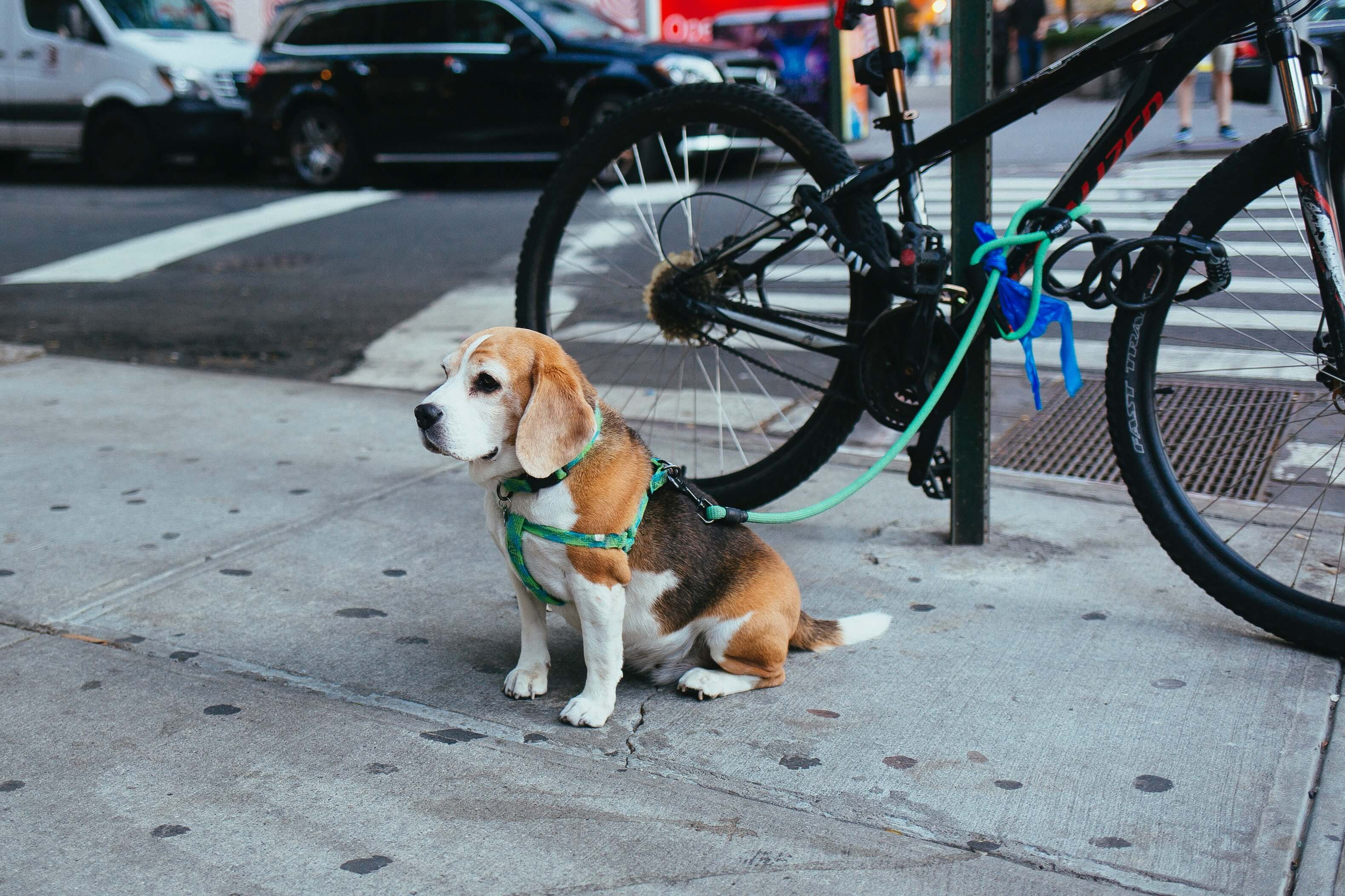trained-beagle.jpg