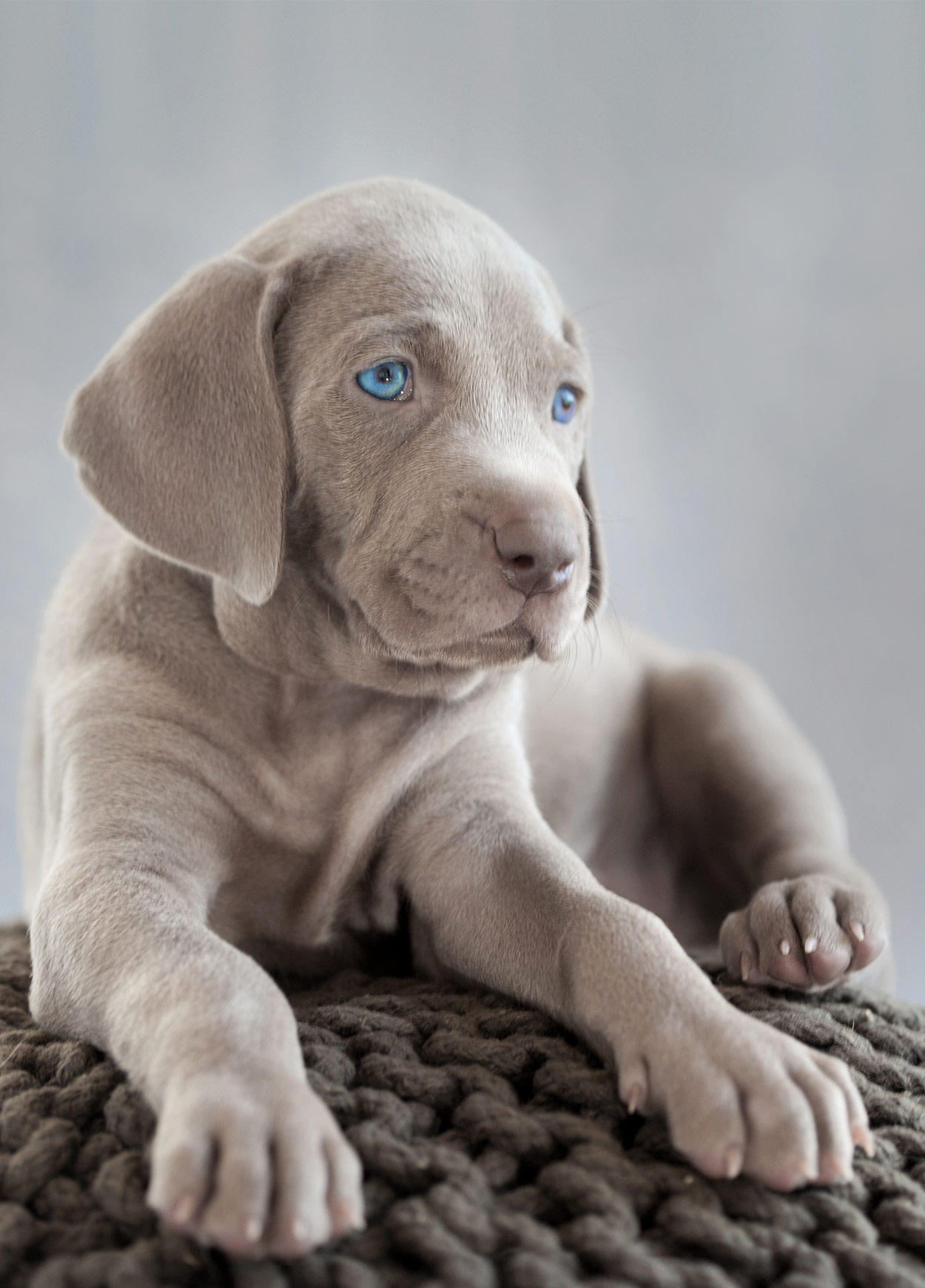 Weimaraner Pros And Cons Of Owning